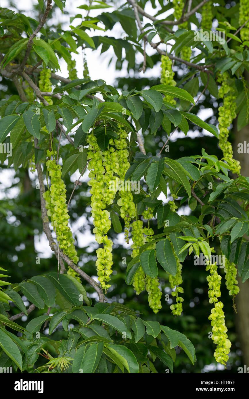 Kaukasische Flügelnuss, Kaukasische Flügelnuß, Pterocarya fraxinifolia, Caucasian wingnut, Caucasian - Stock Image