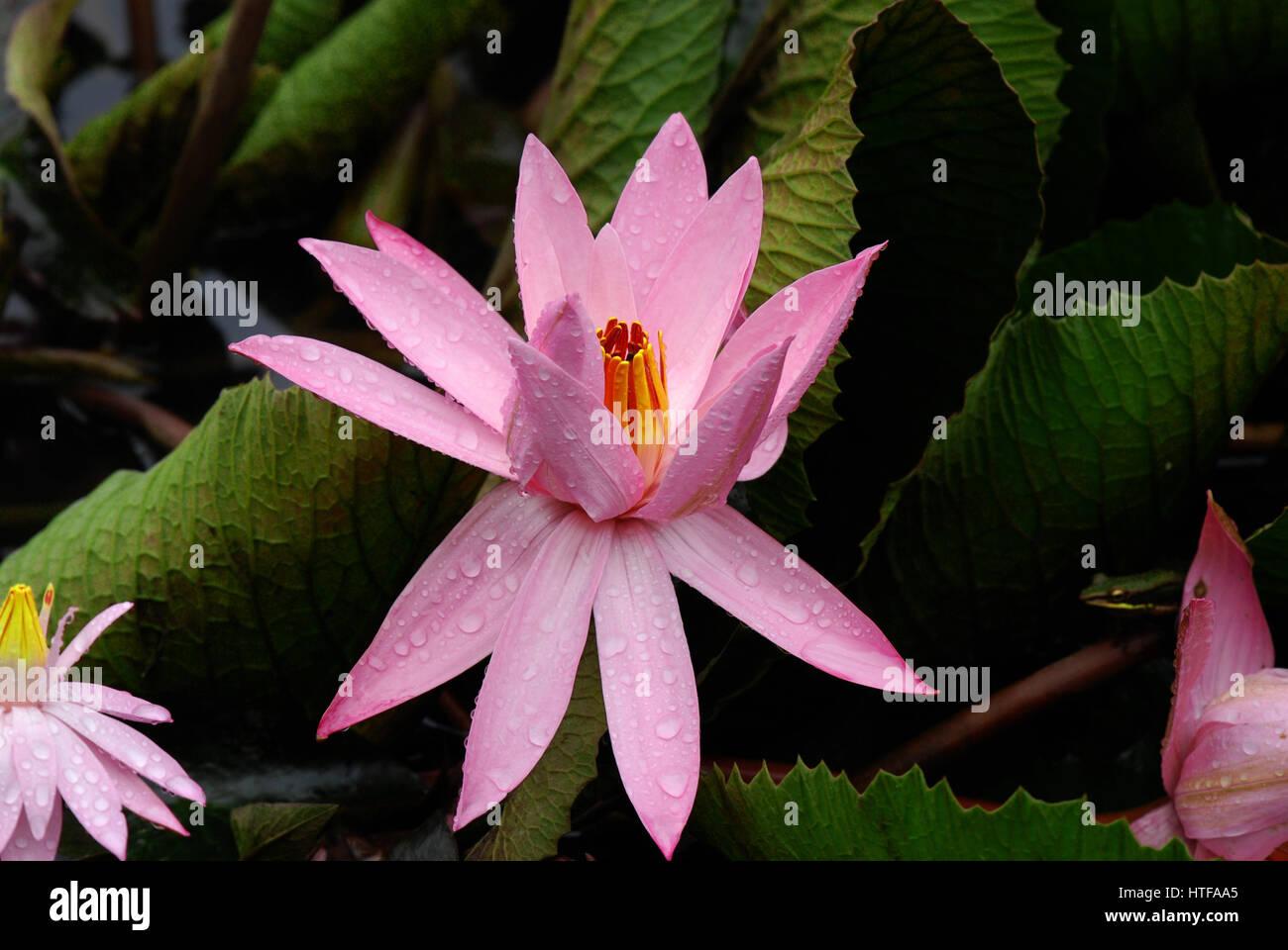 Bunga Lotus Stock Photos Bunga Lotus Stock Images Alamy