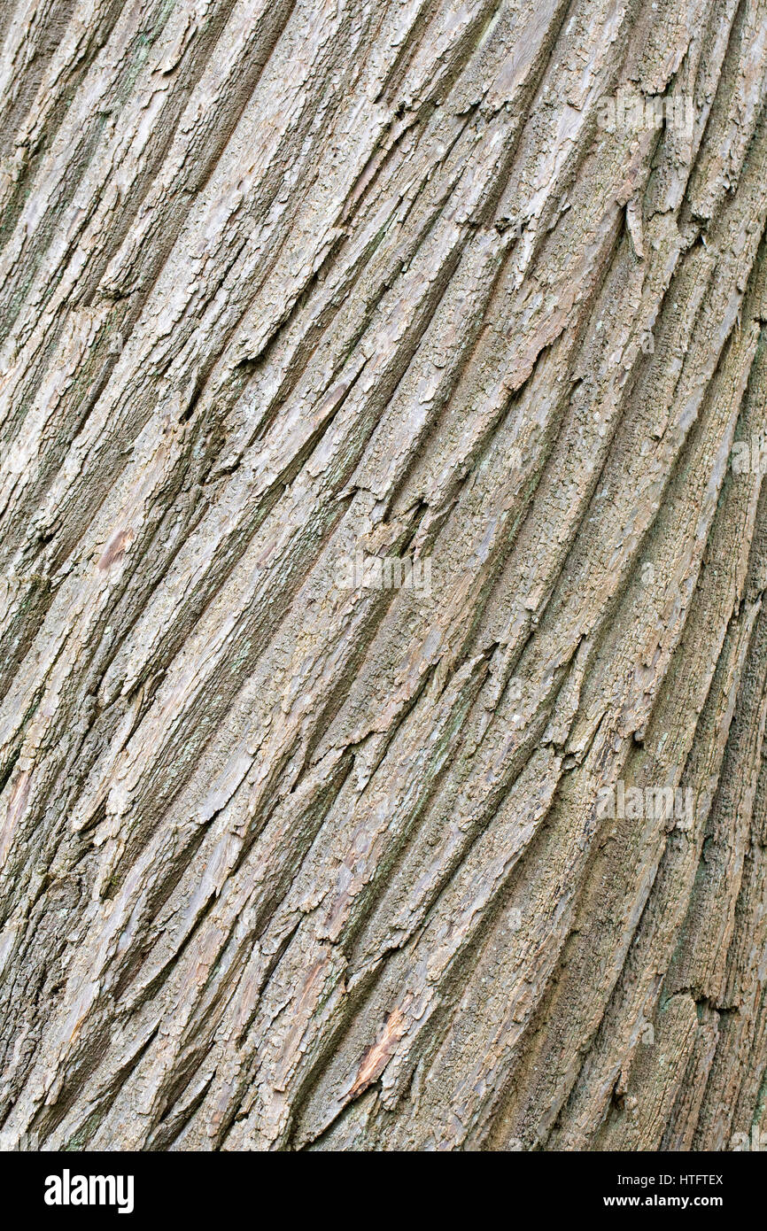 bark sweet chestnut tree castanea stock photos   bark manor house gardens opening times manor house gardens lewisham