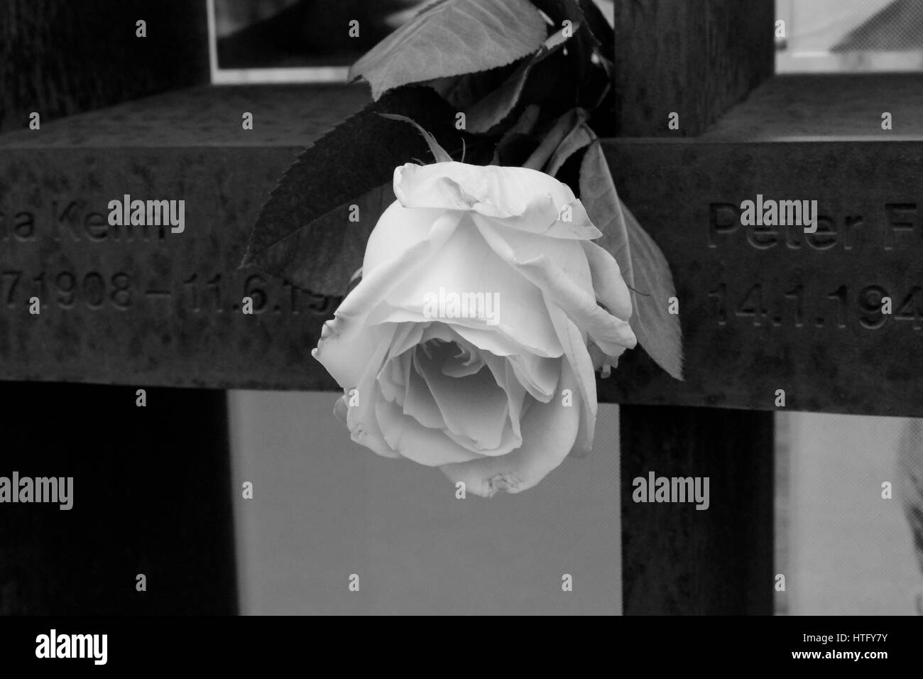 White Rose left on a photo memorial for those who tried to cross the Berlin Wall Stock Photo