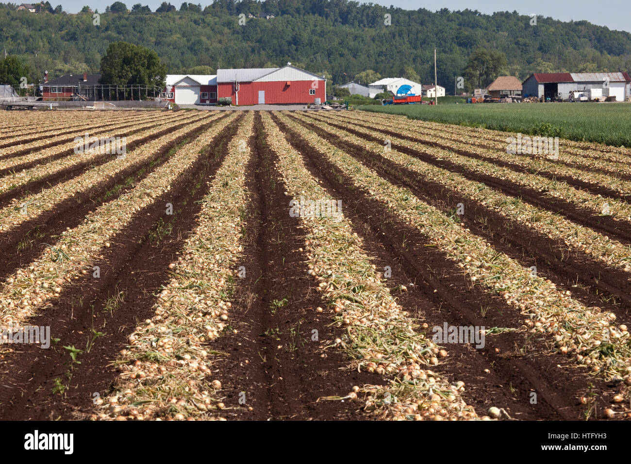 Ontario,Canada, Commercial farming of vegetables at Holland March near Brantford,Ontario - Stock Image