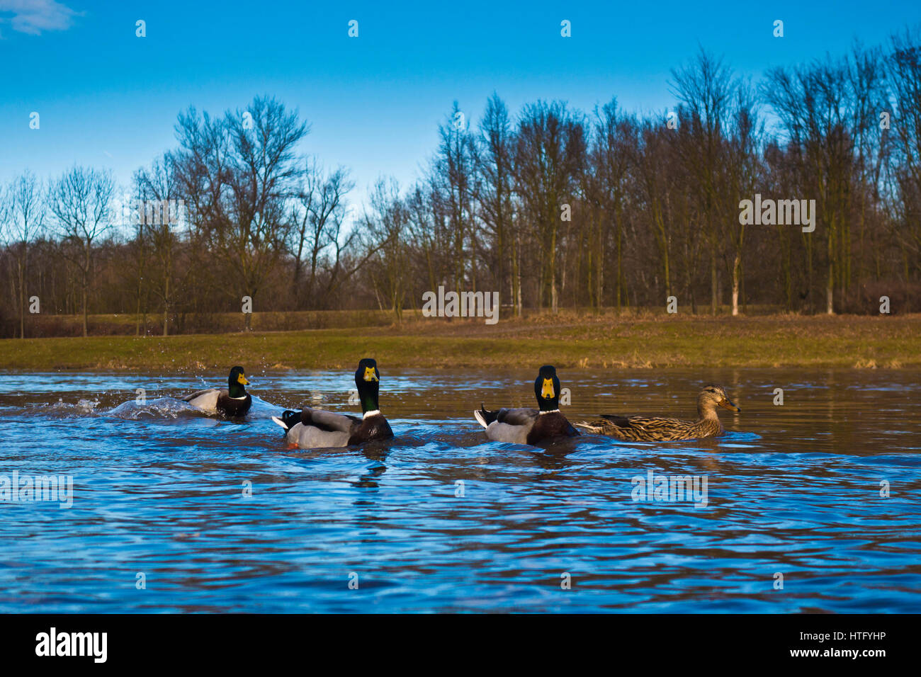 Mallard ducks swimming in the river, low angle view - Stock Image