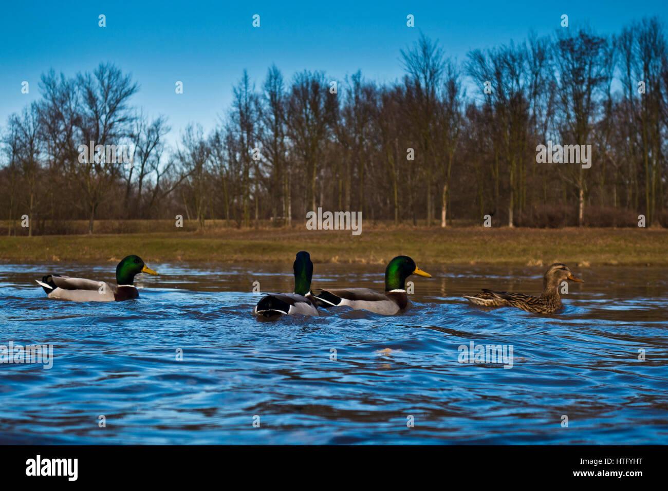 Mallard ducks swimming in the river, low angle view - Stock Image