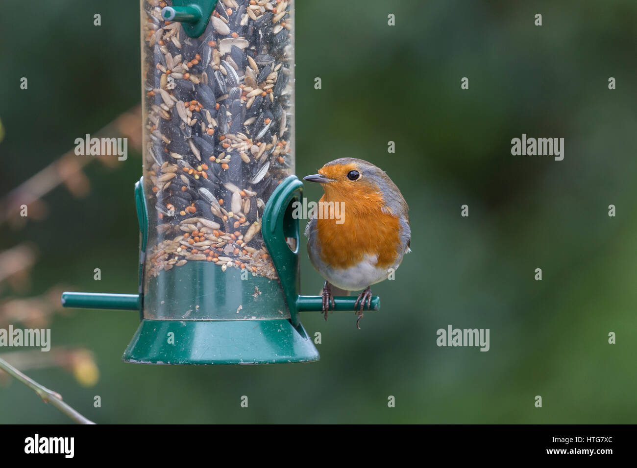 European Robin, Erithacus rubecula, on seed feeder. - Stock Image
