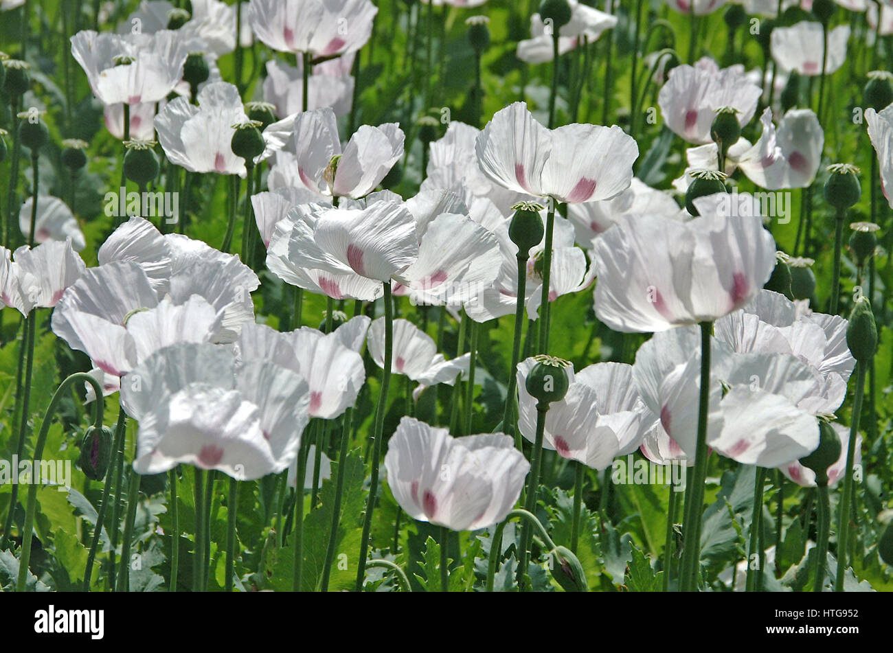 White Opium Poppy (Papaver Somniferum) growing in a Hampshire field Stock Photo