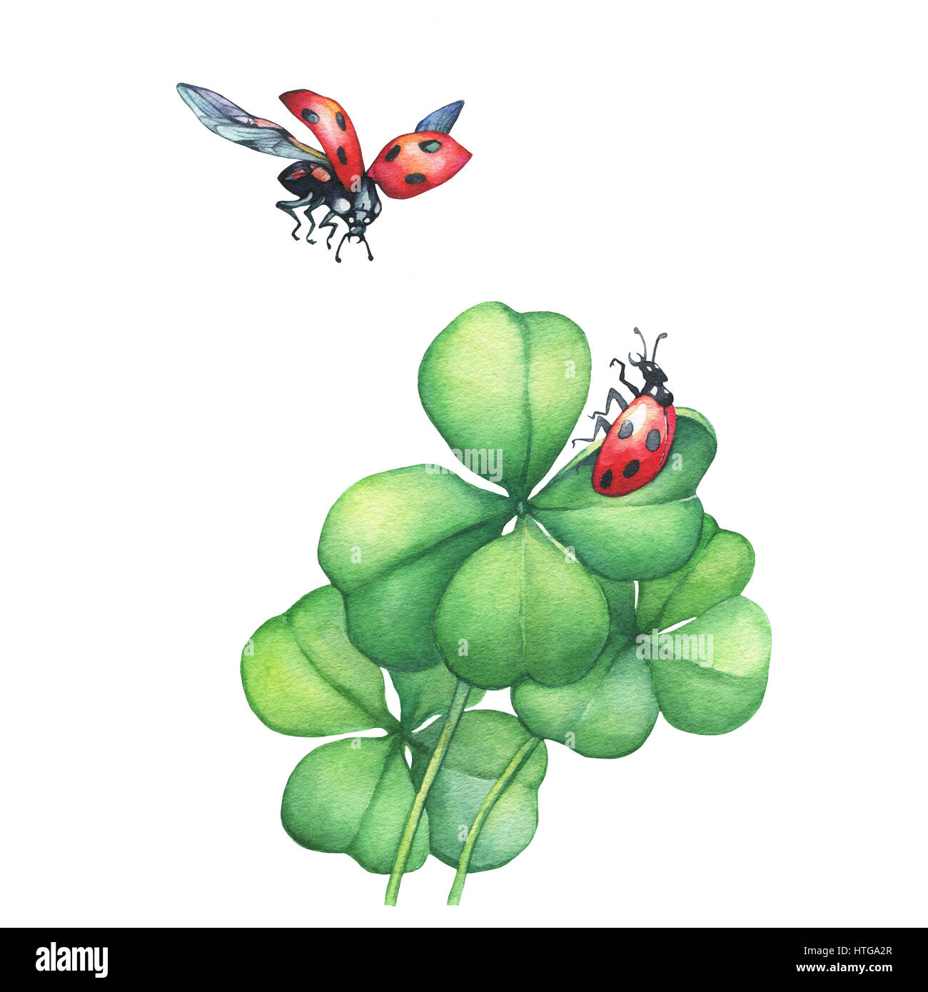 Ladybug in flight and sitting on a green four leaf clover. Hand drawn watercolor painting on white background. - Stock Image