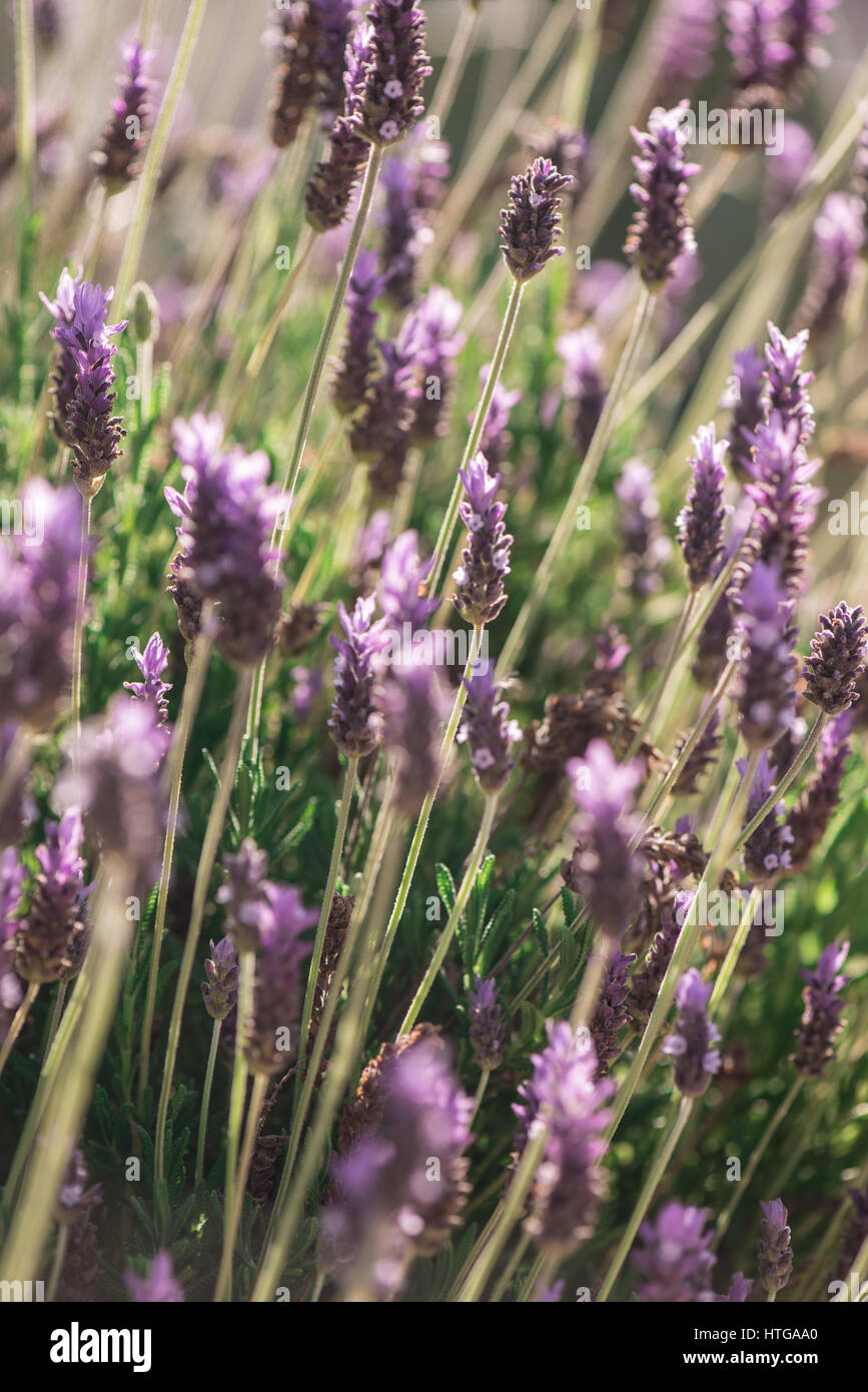 Calming spanish lavender on a sunny spring day - Stock Image