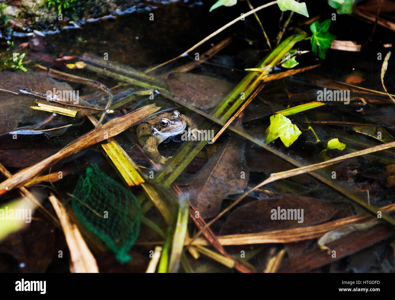 Thaxted, UK. 11th March 2017. Frog in garden pond, Thaxted. A common frog emerges from his winter home into the - Stock Image