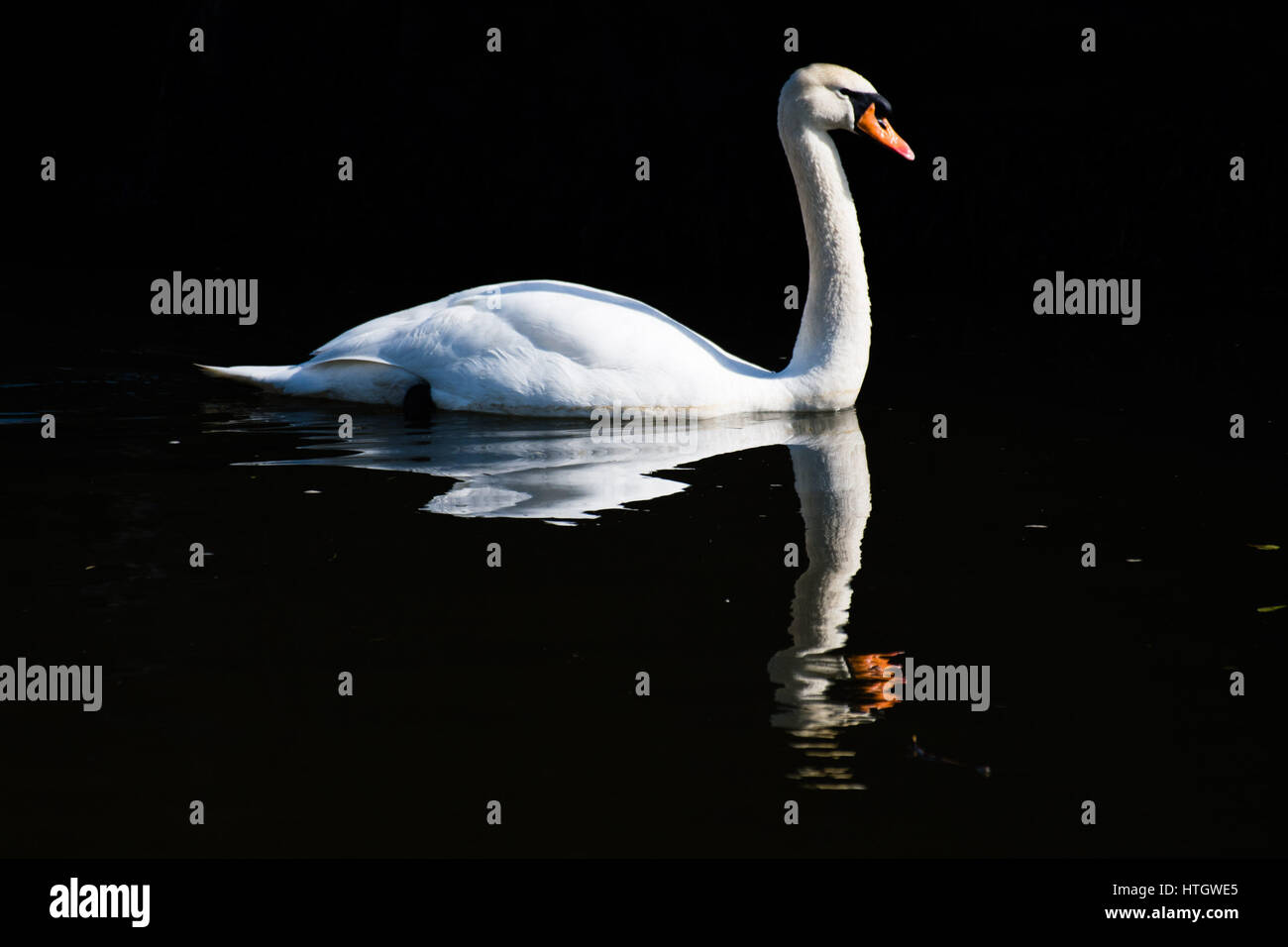 Aberystwyth Wales Uk, Wednesday 15 March 2017 UK Weather: A beautiful white swan paddles gracefully on the calm - Stock Image
