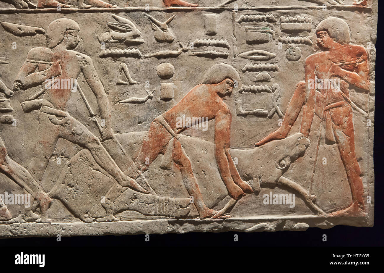 Cattle butchering scene. Egyptian limestone relief from Saqqara, about 2300 BC, 5-6th Dynasty, Old Kingdom of Ancient - Stock Image