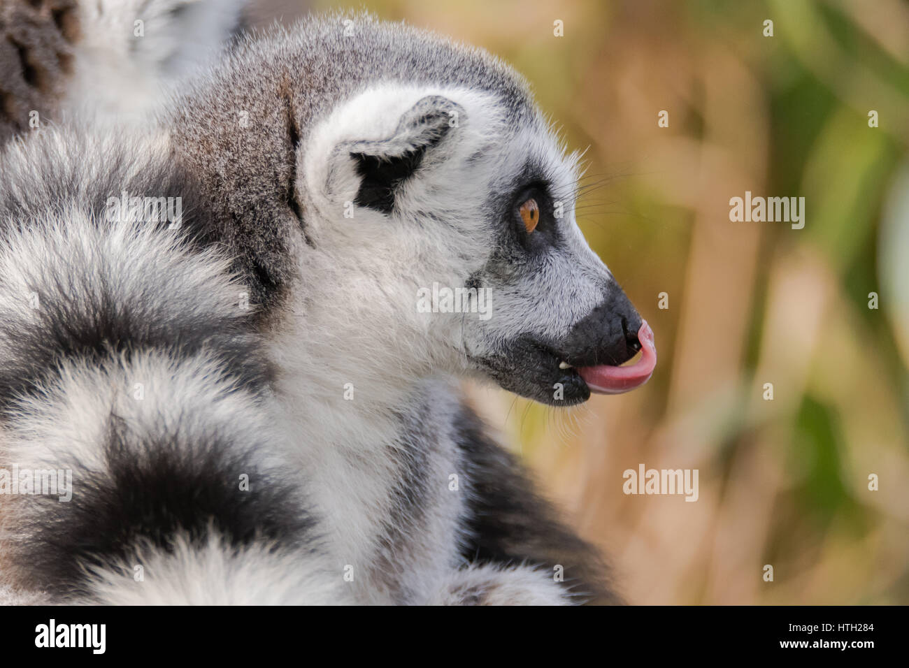Ring-tailed lemur (Lemur catta) with tongue sticking out. Most familiar large strepsirrhine primate in the family - Stock Image