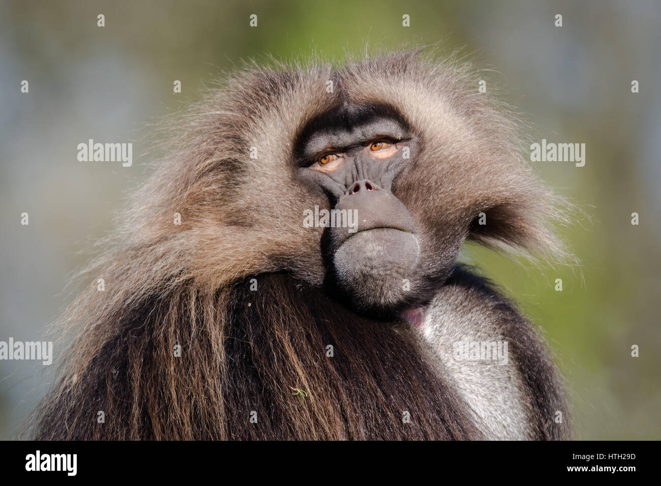 Male gelada (Theropithecus gelada). Portrait of old world monkey, endemic to the Ethiopian Highlands, closely related - Stock Image