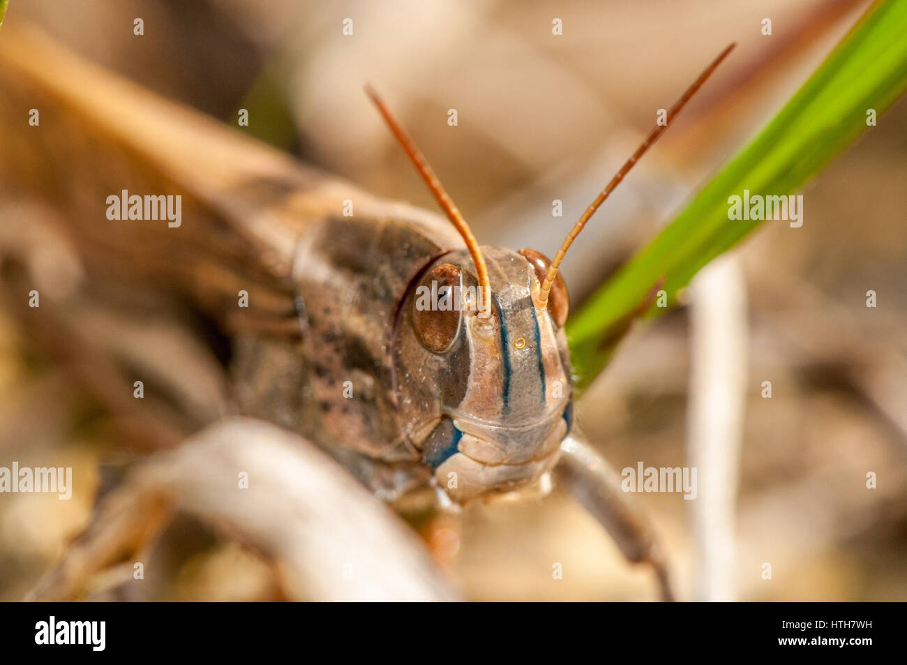 Close up view of an insect (Locusta migratoria cinerascens) - Stock Image