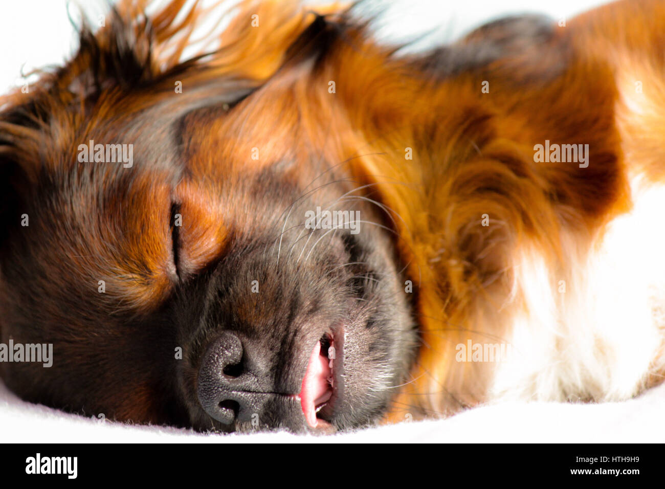Picture of a small cute dog sleeping like a baby - Stock Image
