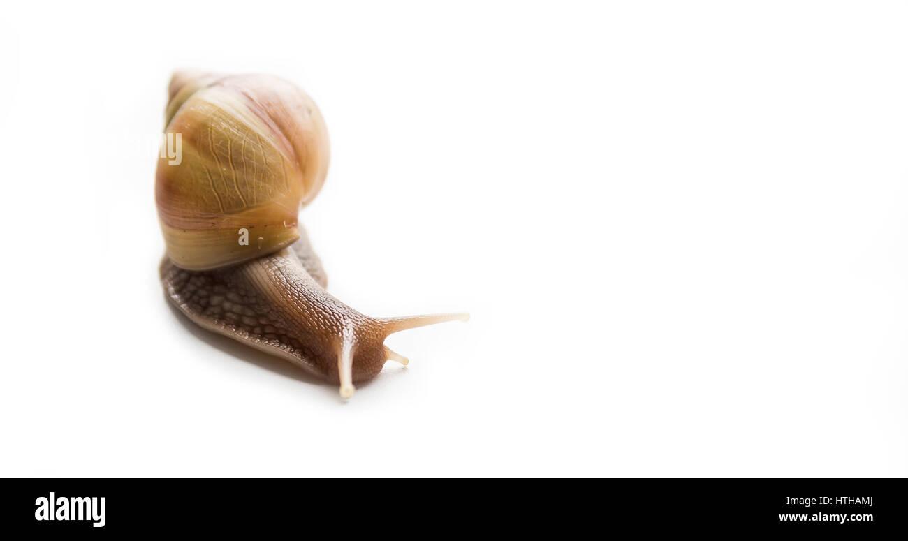 Big snail Achatina Stock Photo