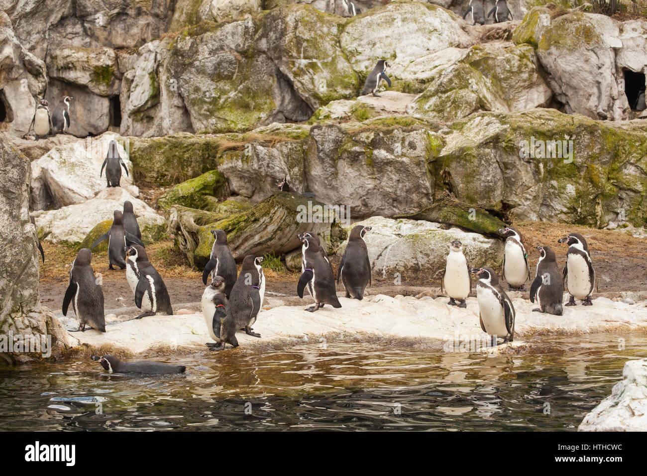 Humboldt penguin (Spheniscus humboldti), at Vienna Zoo, Tierpark Schoenbrunn, Vienna, Austria, Europe. - Stock Image