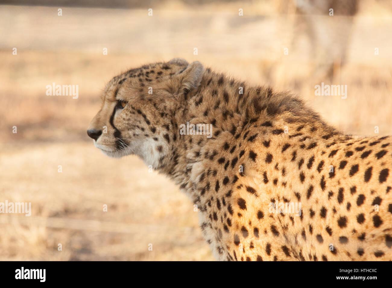 Cheetah at Vienna Zoo, Tierpark Schoenbrunn, Vienna, Austria, Europe. - Stock Image
