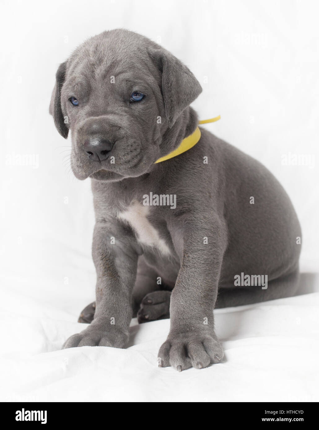 Purebred Great Dane Puppy With Blue Eyes And Yellow Collar On White Stock Photo Alamy