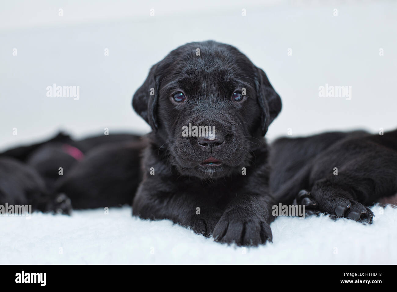 Black Labrador puppies - Stock Image