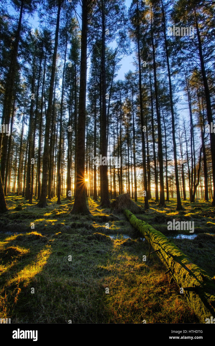 The sun shinning through the trees in a conifer woodland Stock Photo