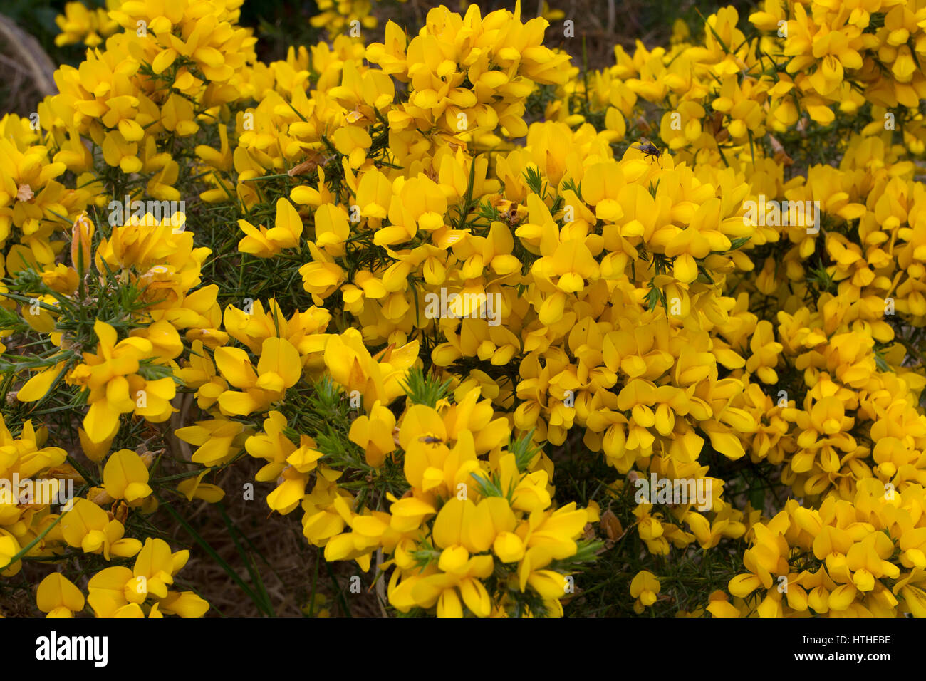 Mass Of Yellow Flowers Stock Photos Mass Of Yellow Flowers Stock