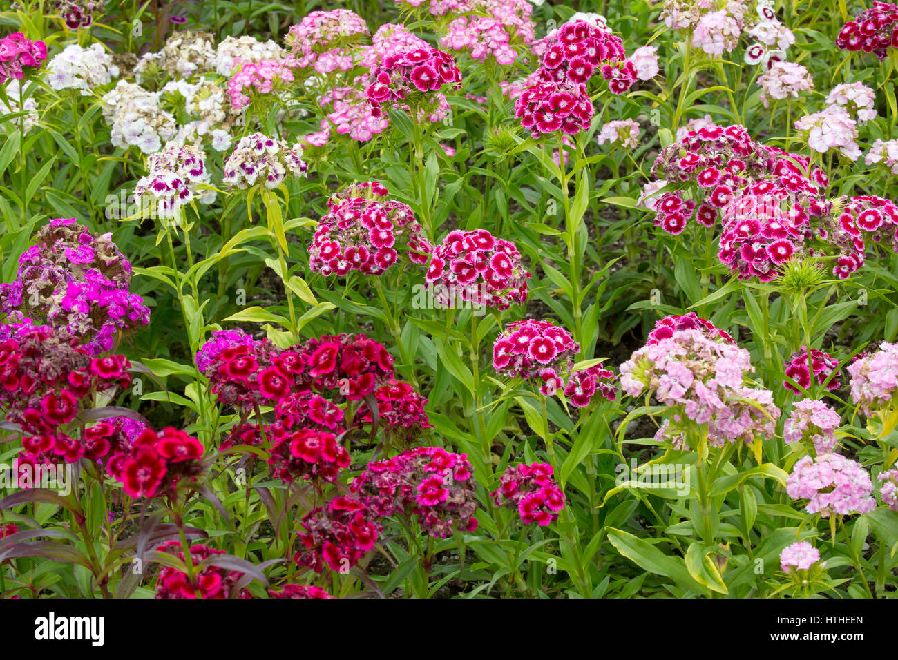 Sweet William, Dianthos barbatus, flowers of mixed colours, Lost Gardens of Heligan, Cornwall, UK - Stock Image