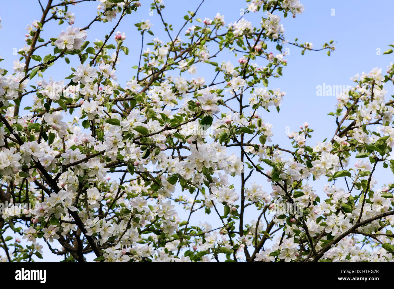 The branches of apple trees with a large number of white pink the branches of apple trees with a large number of white pink flowers and buds on background of blue sky mightylinksfo