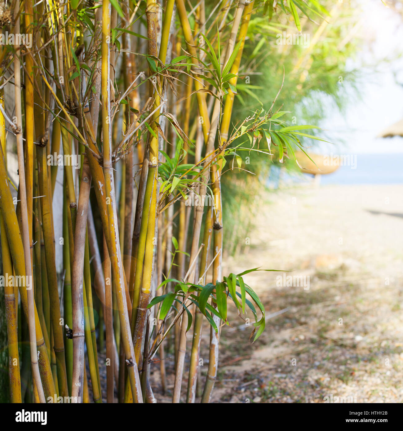 bamboo trees on sea beach background copy space stock photo