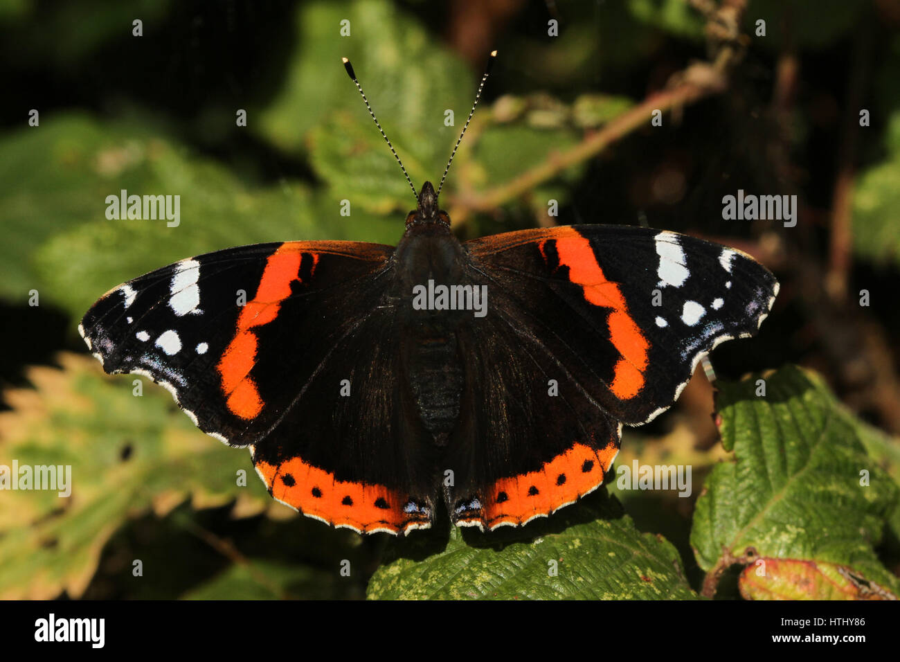A beautiful Red Admiral Butterfly (Vanessa atalanta) perched on a leaf with open wings. Stock Photo