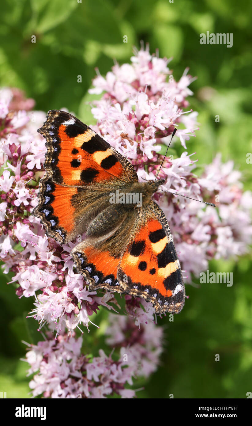 A beautiful Small Tortoiseshell Butterfly (Aglais urticae) nectaring on a flower with its wings open. - Stock Image