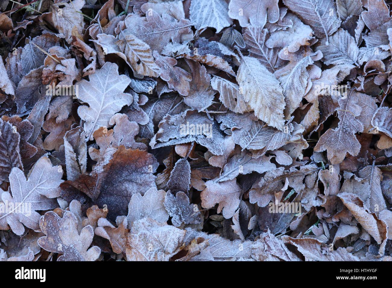 Blätter Laub mit Eis bedeckt - Stock Image
