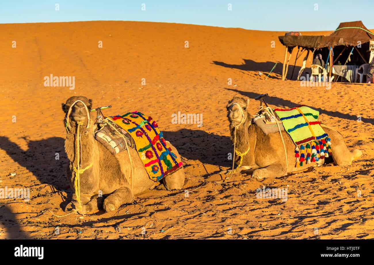 Dromedary camels resting at the Erg Chebbi dunes of Sahara desert. Merzouga, Morocco Stock Photo