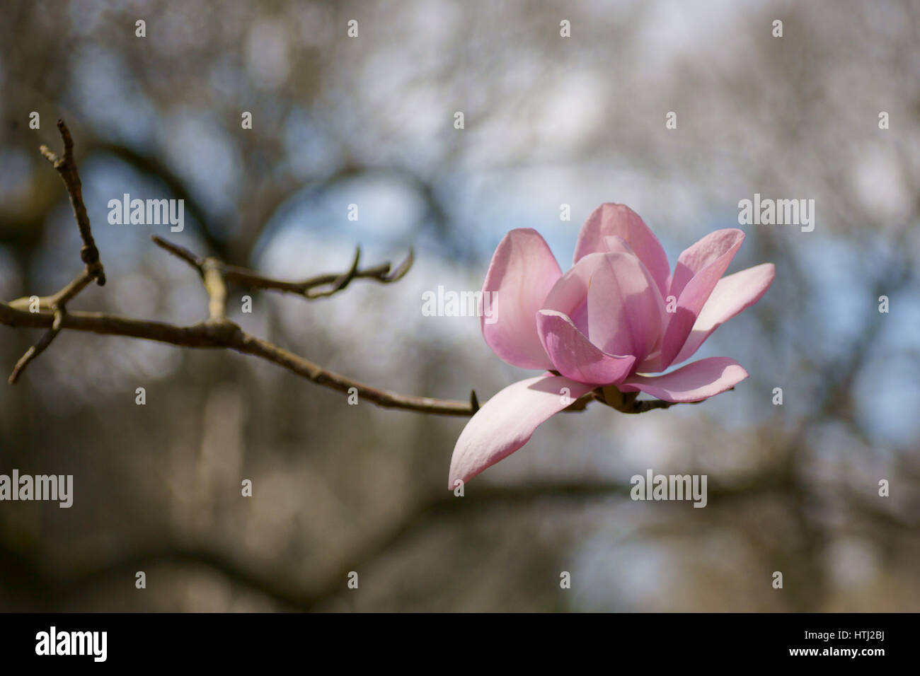 Magnolia campbellii Stock Photo
