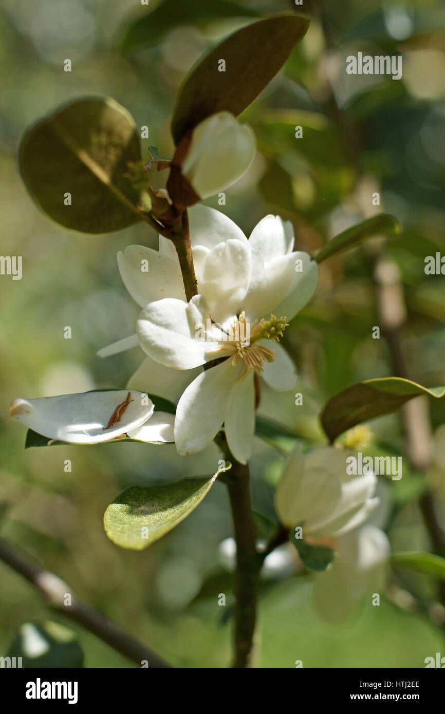Magnolia laevifolia - Stock Image