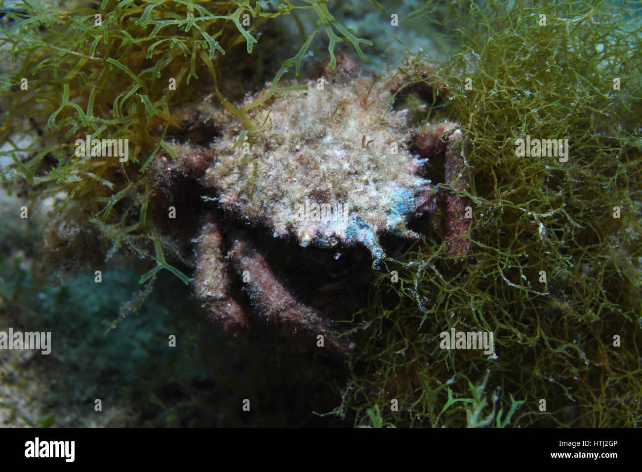European spider crab (Maja squinado) underwater in the Mediterranean Sea - Stock Image