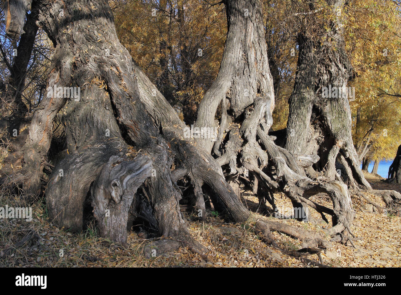 Autumn landscape-huge roots of old willows.Work of time - Stock Image