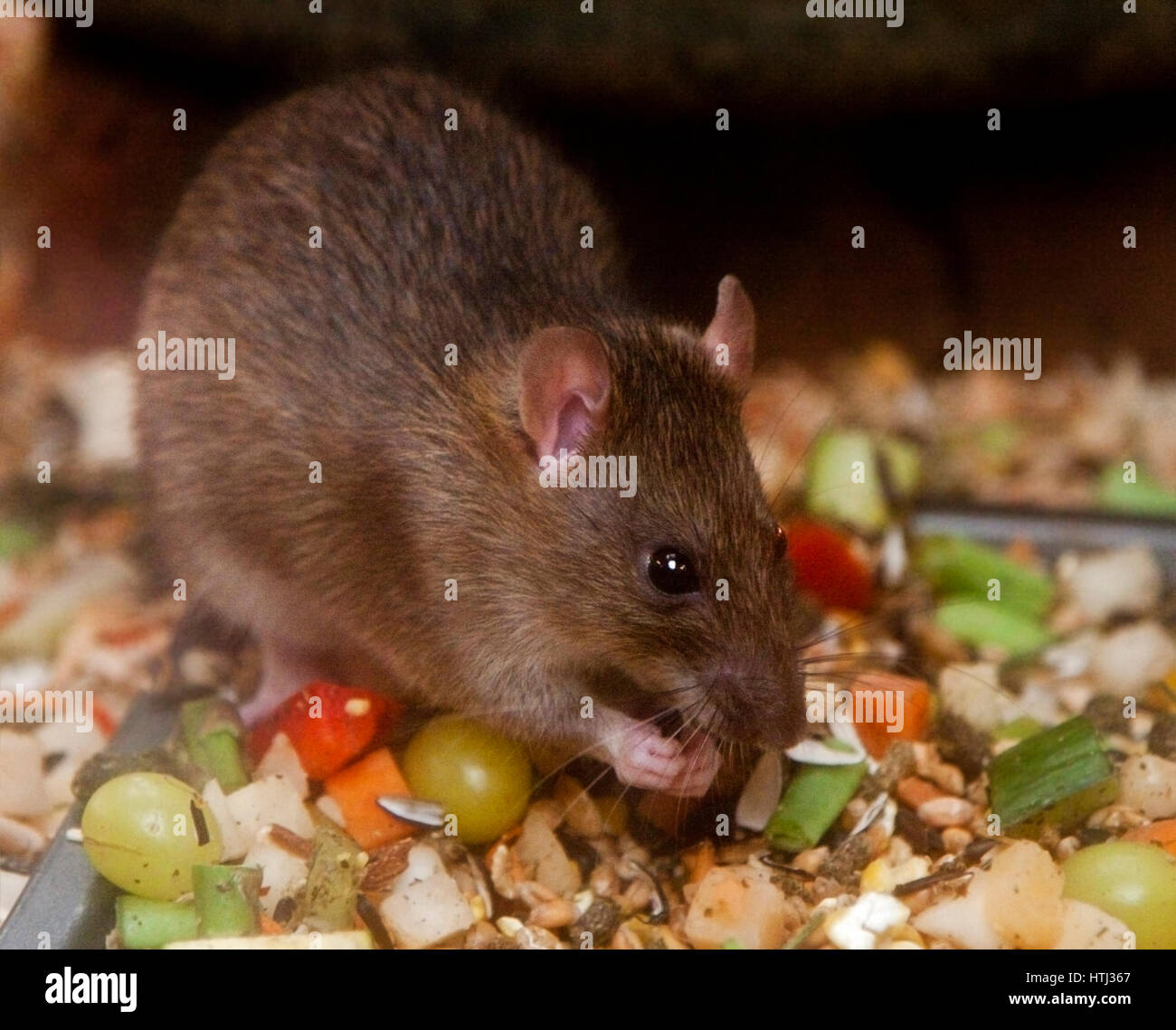 Norwegian Brown Rat (rattus norvegicus) Feeding - Stock Image