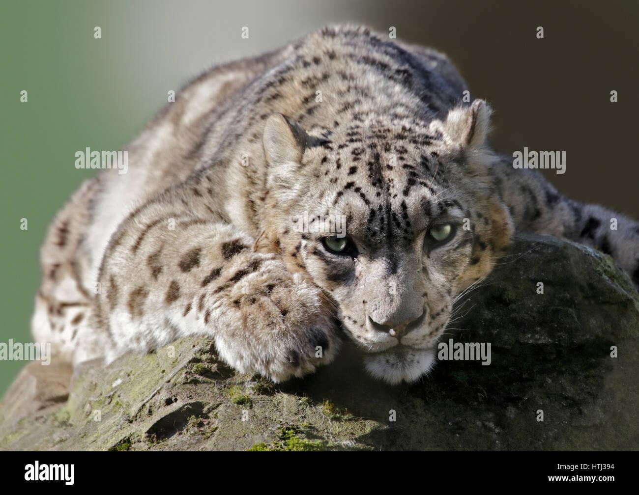 Snow Leopard (uncial uncial) - Stock Image