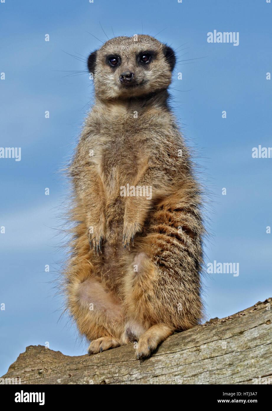 Slender-Tailed Meerkat (suricata suricatta) - Stock Image