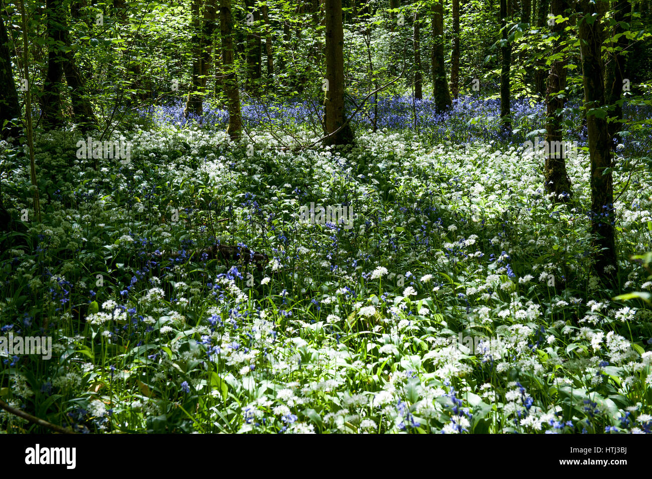 White Flowers of Ramsons or Wild Garlic Plant Allium ursinum - Stock Image