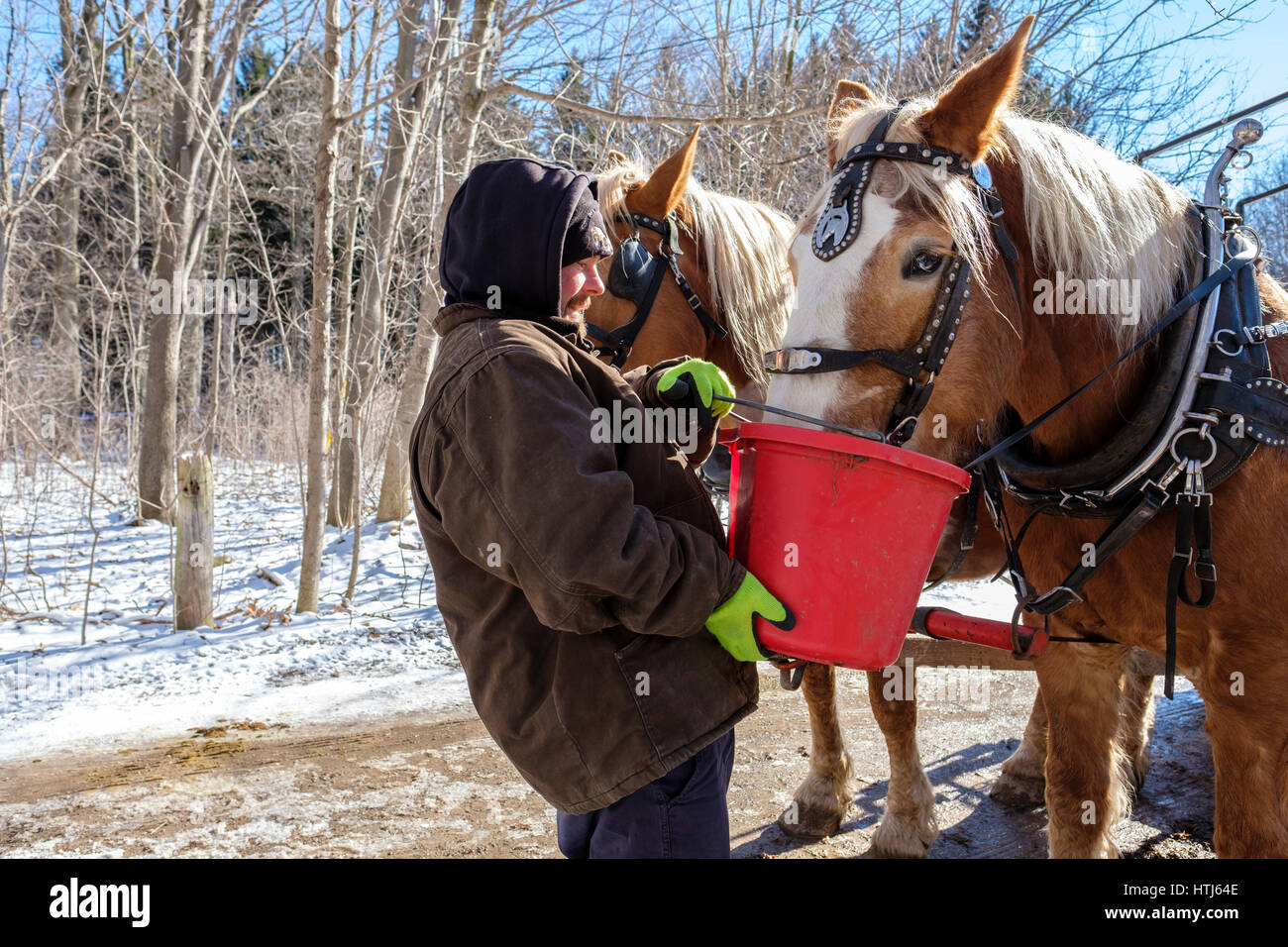 A man using a red bucket to give food, water, to harnessed Belgian draft horses (Equus caballus) in a sunny Winter Stock Photo