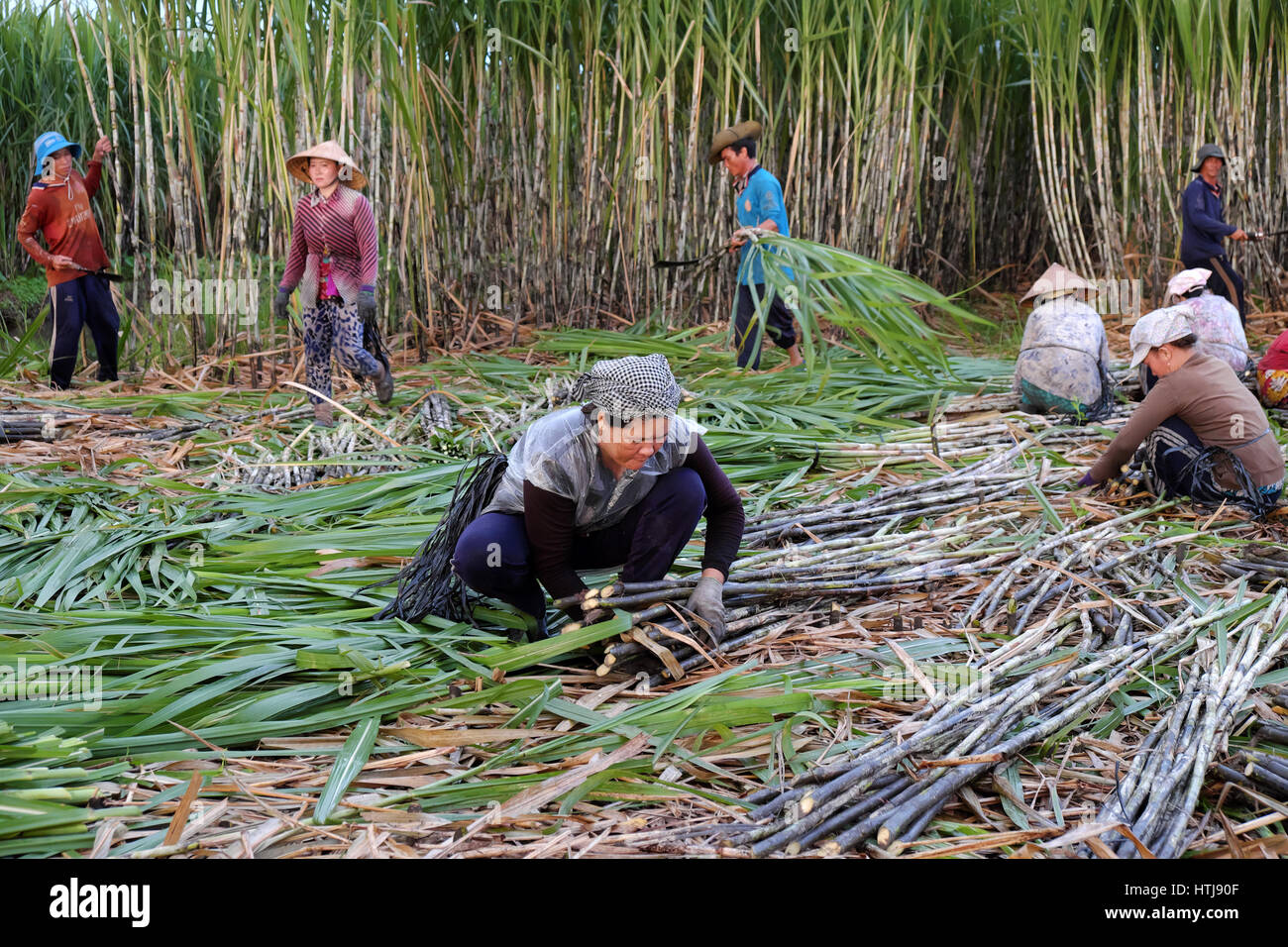 SOC TRANG, VIET  NAM- JULY 14, 2016: Group of Asian farmer working on sugarcane field, farmers harvesting sugar - Stock Image