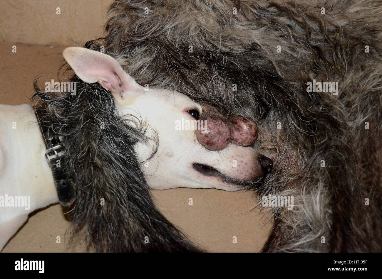 White whippet dog has found a real unusual resting place under the rear of a larger intact male dog. - Stock Image