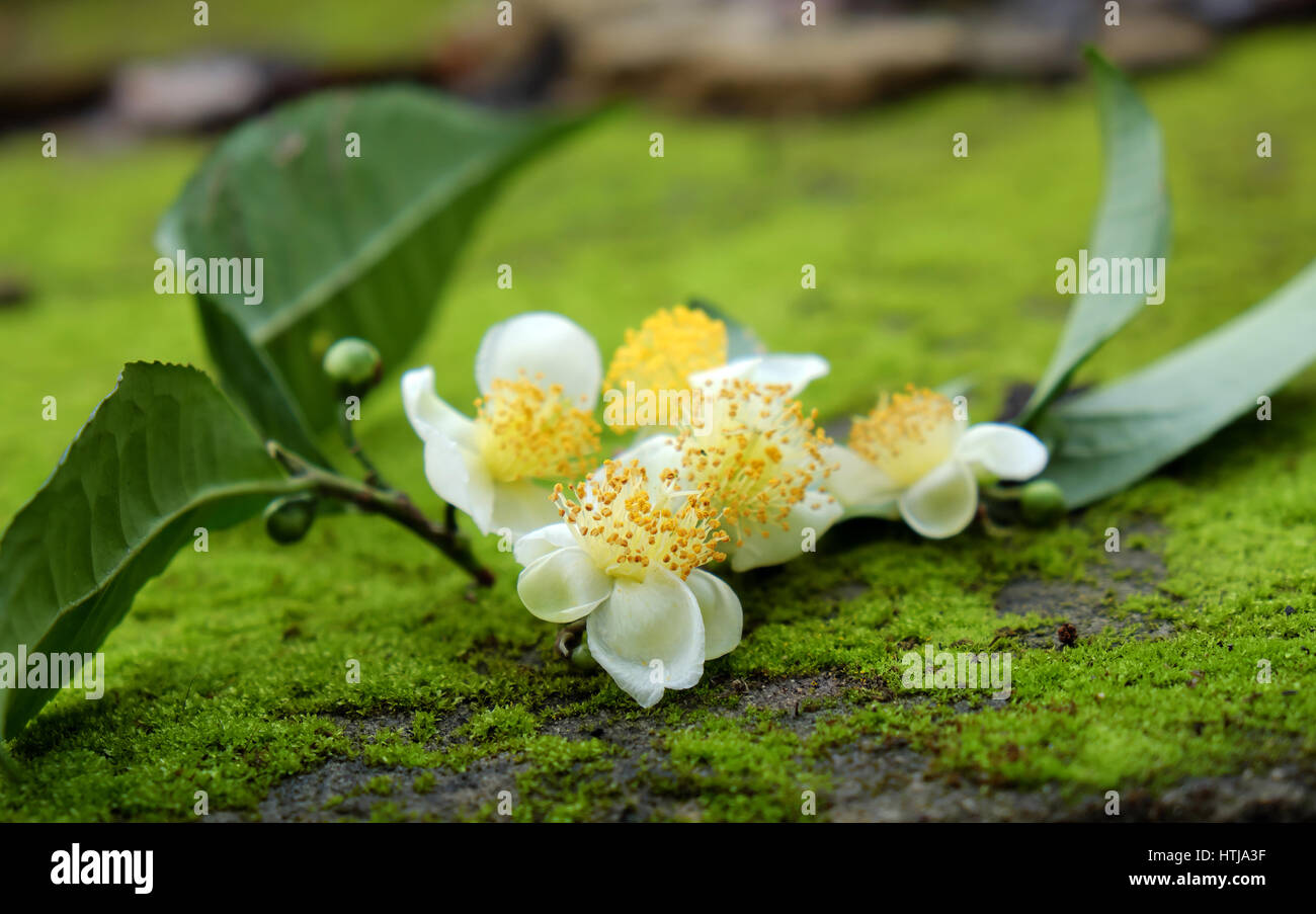 Tea Leaf And Tea Flower On Green Background Abstract Green Moss