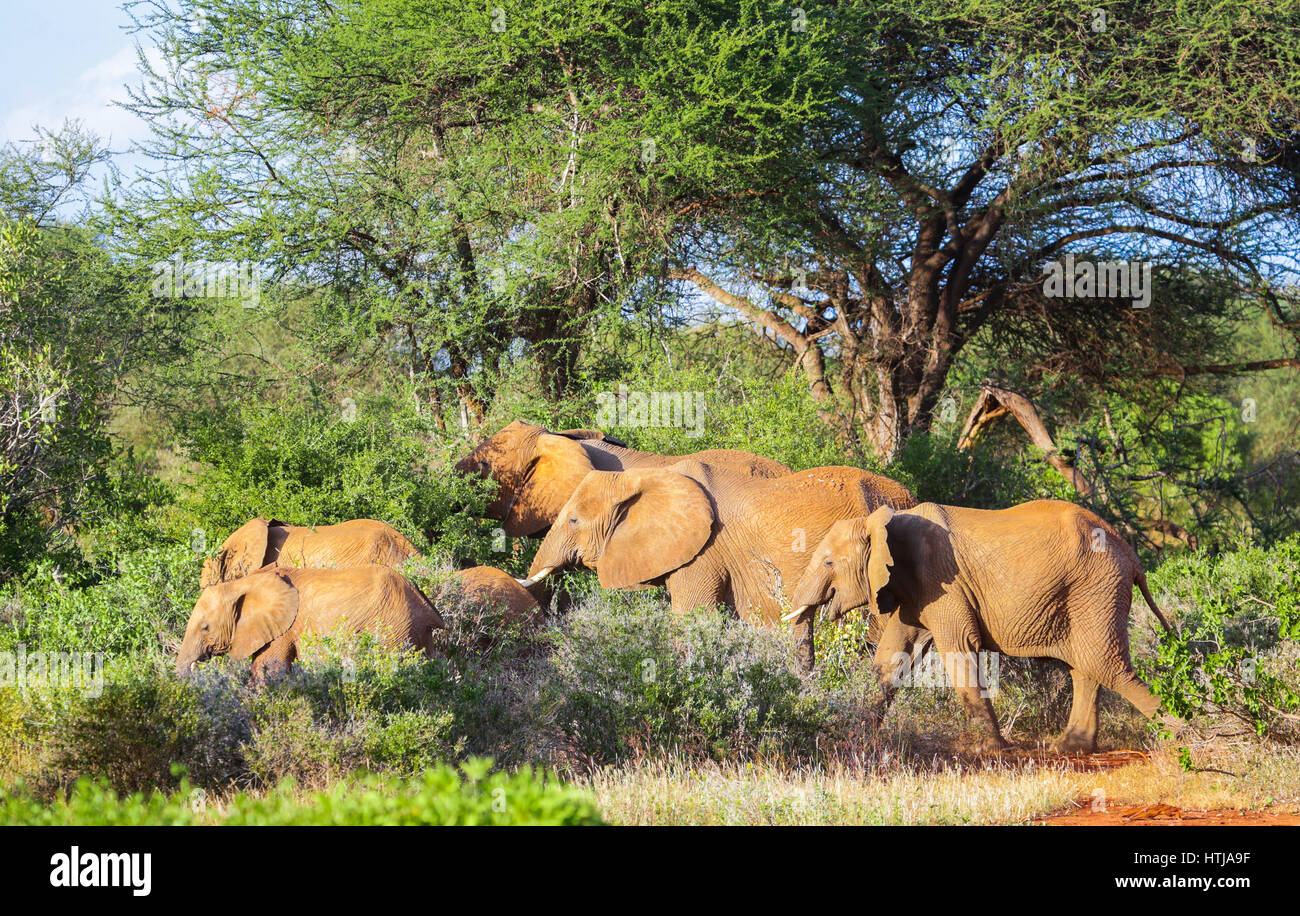 Elephants. Tsavo East National park, Kenya - Stock Image