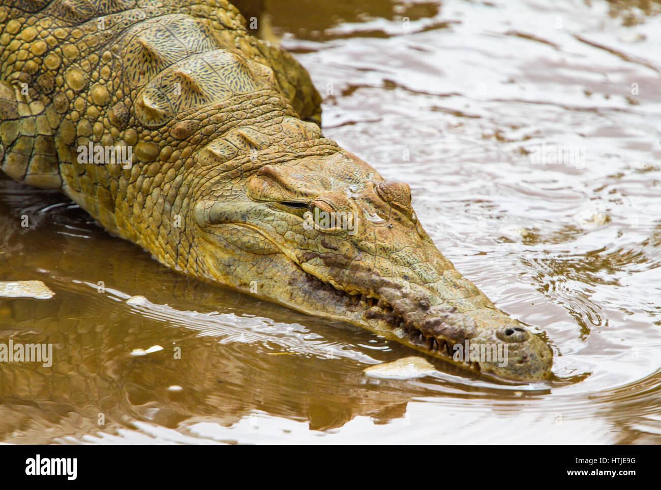 Crocodile in Tsavo East National Park. Kenya. Stock Photo