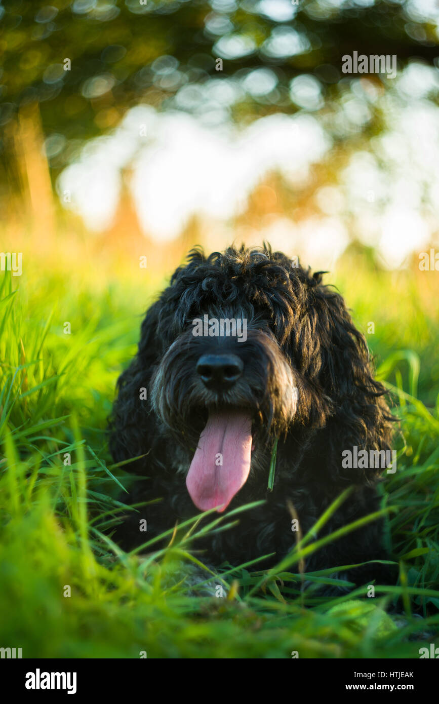 Black Cockapoo resting with tongue out in tall green grass in late afternoon Summer light Stock Photo