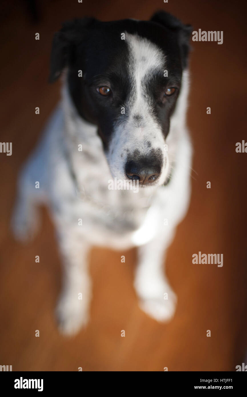A Black and White Dog with a Wistful Look - Stock Image
