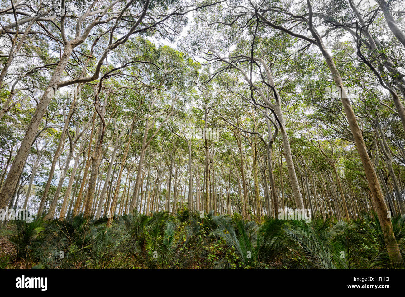 Forest of Spotted Gum Trees (Eucalyptus maculata) by Brou Lake, Sapphire Coast, New South Wales, NSW, Australia - Stock Image