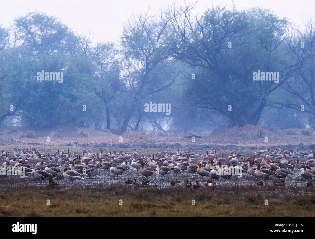 Greylag Geese, (Anser anser) on wetland, Keoladeo Ghana National Park, Bharatpur, Rajsthan, India - Stock Image